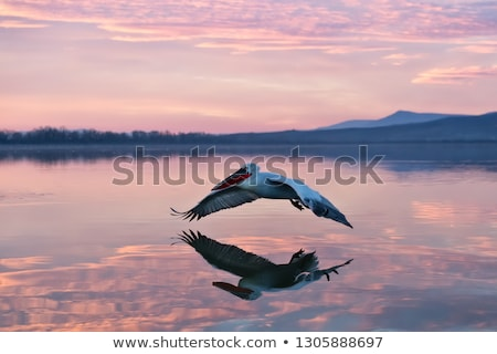flying pelican at dawn stock photo © silkenphotography