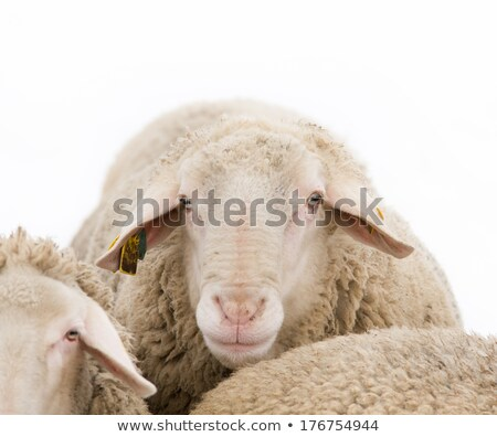 close up of sheep snout stock photo © giulio_fornasar