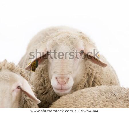 close up of sheep snout  Stock photo © Giulio_Fornasar