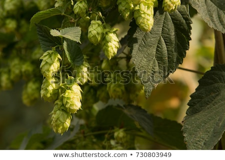Stock photo: Beer and branch of hop