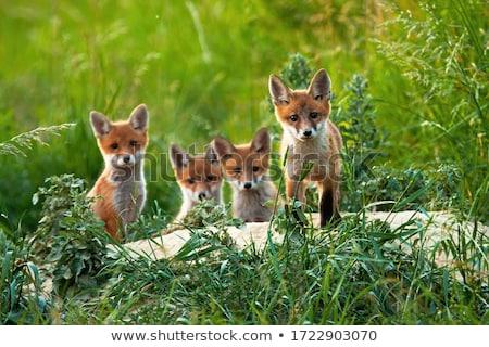 Jonge vos veld Rood uitrusting Stockfoto © jeffmcgraw