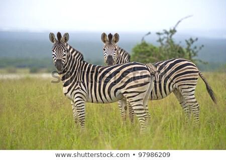 Couple of zebras on grass stock photo © Sportactive
