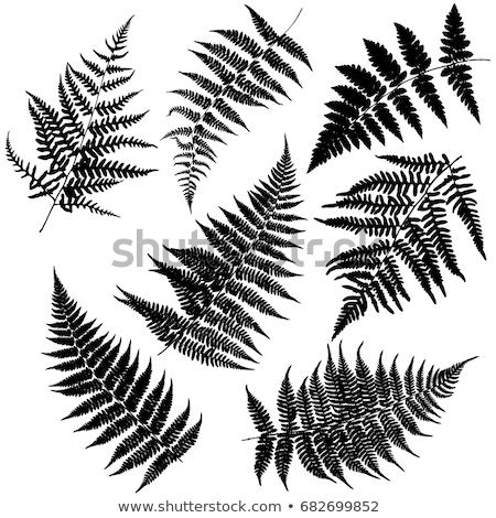 Fern frond black silhouette. Stock photo © gladiolus
