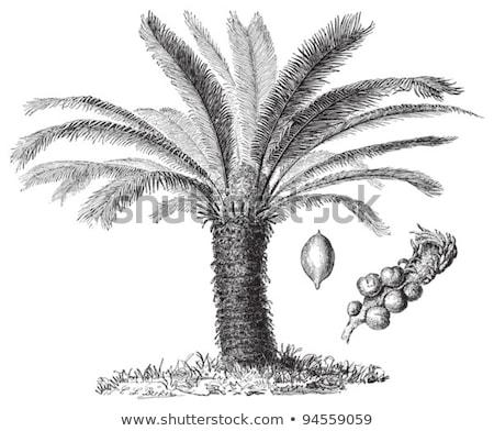 Stock photo: Sago Palm Or King Sago Palm Or Cycas Revoluta Vintage Engraving