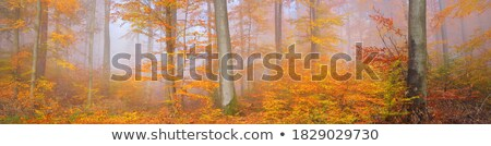 Tall autumn trees in deciduous forest with sunlight Stock photo © stevanovicigor