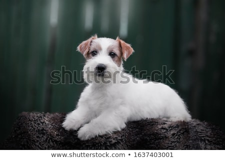 Jack russell terrier chiots séance panier isolé blanche Photo stock © silense