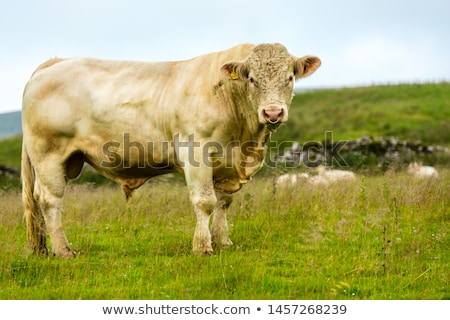 Charolais cattle Stock photo © Hofmeester