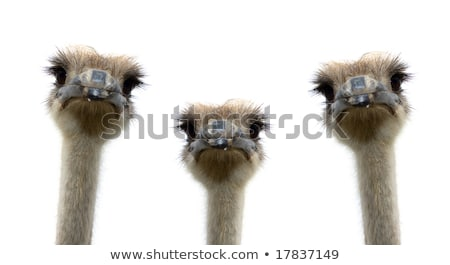 Close up of a group of Ostriches. Stock photo © simoneeman
