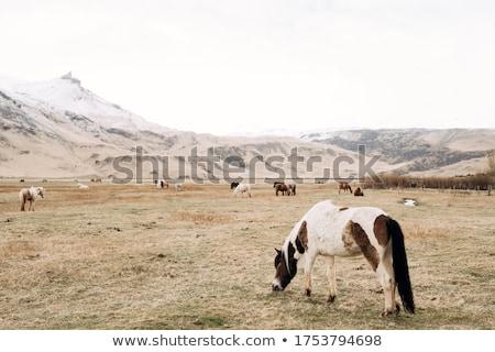 brown horse in the mountains stock photo © kotenko