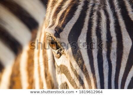 Eye of a zebra Stock photo © andreasberheide