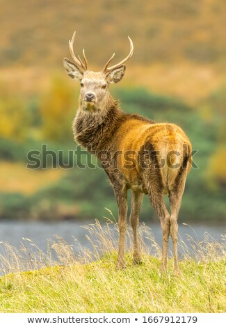beautiful red deer stag in natural habitat stock photo © taviphoto