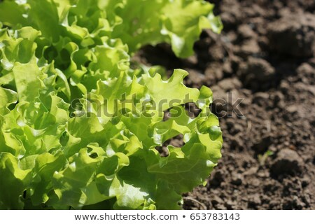 Curly green lettuce growing in bed -healthy eating concept stock photo © Virgin