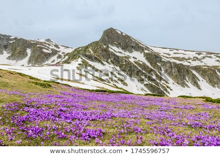First spring flowers on a mountain meadow Stock photo © Kotenko