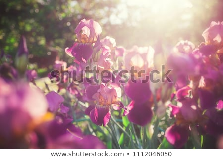 Iris flowers in spring Stock photo © mythja
