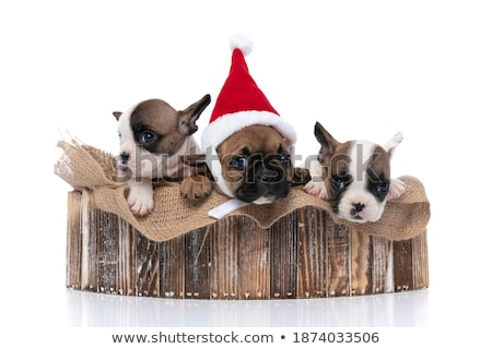 team of three happy dogs wearing santa claus costume stock photo © feedough