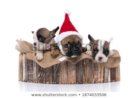 team of three happy dogs wearing santa claus costume Stock photo © feedough