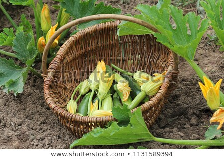 Zucchini plants in blossom on the garden bed. Basket with small zucchini and flower Stock photo © Virgin