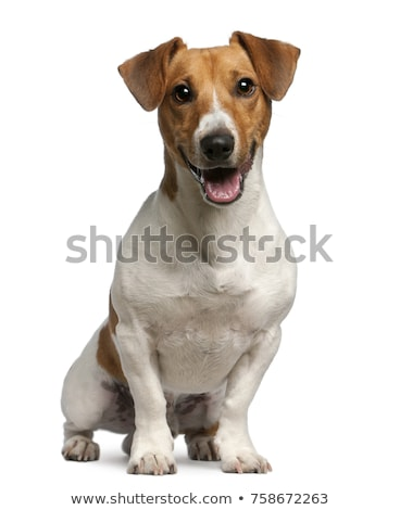 pequeno · jack · russell · terrier · branco · jogar · cão · diversão - foto stock © eriklam