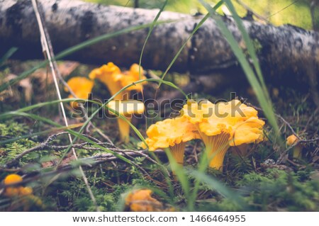 chanterelles mushrooms on ground in autumn forest Stock photo © dolgachov
