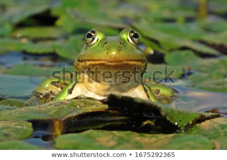 Frog Closeup Stock photo © vadimmmus