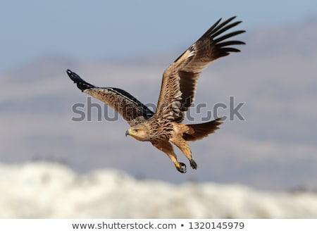 Eagle eastern Stock photo © hanusst