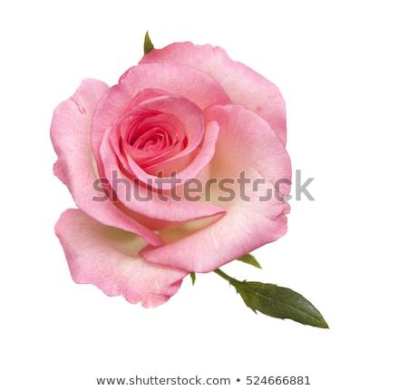 розовый · роз · белый · листьев · любви - Сток-фото © jenbray