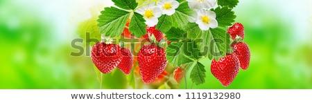 fresh red strawberries closeup background stock photo © meinzahn