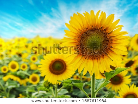 field sunflowers summer closeup beautiful yellow flower sun stock photo © fotoaloja