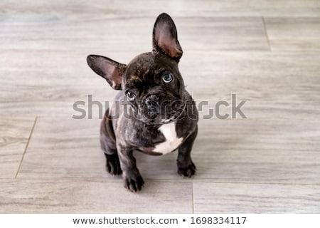 Francês buldogue cachorro engraçado posando isolado Foto stock © hsfelix