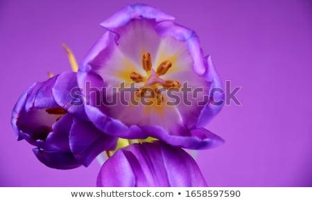 Friss lila tulipán virág sötét kő Stock fotó © karandaev