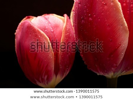 Fresh red tulip flower in water drops isolated white Stock photo © photocreo