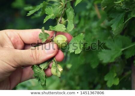 Yeşil gıda meyve yaz taze sağlıklı Stok fotoğraf © smartin69