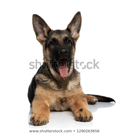 adorable german shepard with tongue exposed resting Stock photo © feedough
