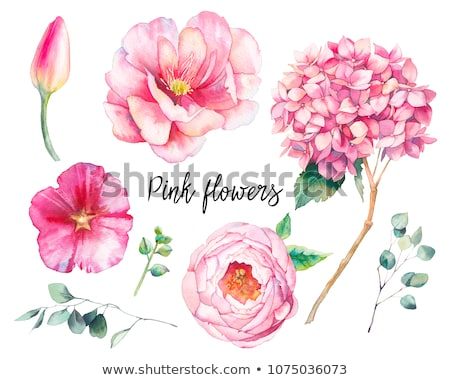 Pink Hortensia flower on white background Stock photo © CatchyImages