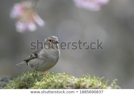 Vrouwelijke vogel vergadering boom takje veer Stockfoto © manfredxy