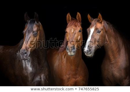cavalos · cabeça · cavalo · fazenda · boca · animal - foto stock © ivonnewierink