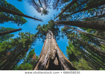 looking up in a redwood forest stock photo © wildnerdpix