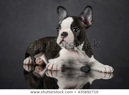 Stock photo: Puppy Boston Terrier relaxing in the darkness