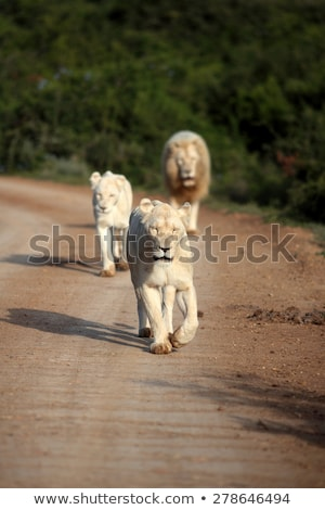 Stock photo: White rhino walking towards the camera.