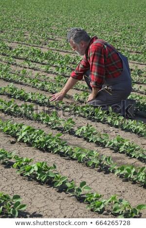 gazda · megvizsgál · szója · bab · növények · mező - stock fotó © simazoran