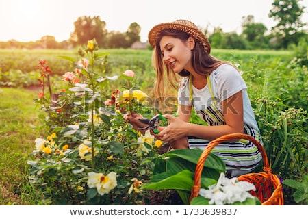 Kertész gondoskodó bokrok rózsák virágok gazdálkodás Stock fotó © robuart