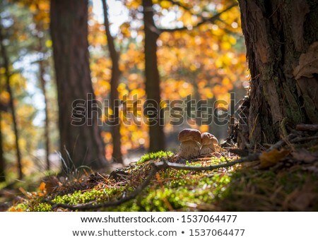 Frescos setas crecer roble otono forestales Foto stock © romvo