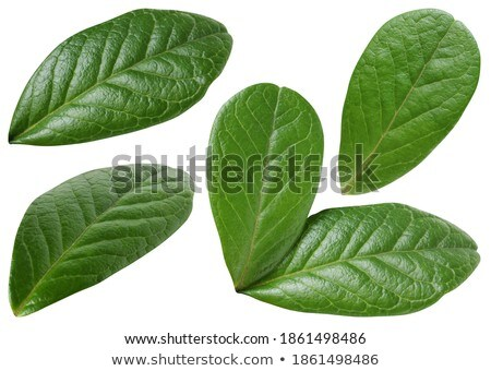 Green sheet of the cowberry Stock photo © RuslanOmega