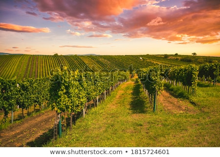 Wineyard Stock photo © samsem