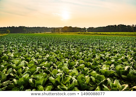 White cabbage head in a field  Stock photo © wjarek