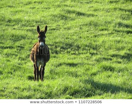 ezel · boeren · boerderij · dier · weide - stockfoto © rhamm