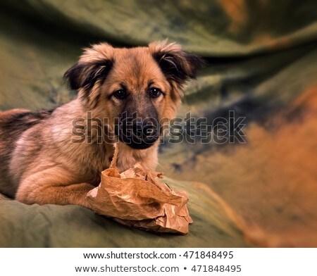 Nice Mixedbreed Dog Relaxing In Studio Stock Photo