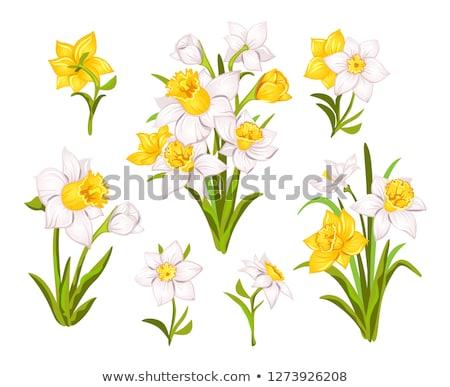 bouquet of fresh spring narcissus flowers Stock photo © Yatsenko