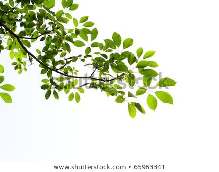 Tavasz ág fák makró idő gyönyörű Stock fotó © romvo