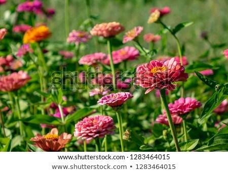 花壇 花 農村 庭園 自然 ストックフォト © artjazz